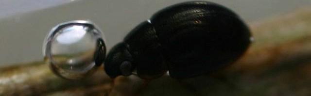 チビマルガムシ