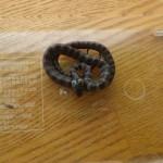 シロマダラ幼蛇