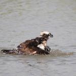 ミサゴ水浴び
