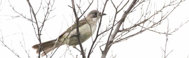シロガシラ若鳥